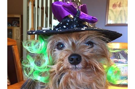 yorkie witch hat